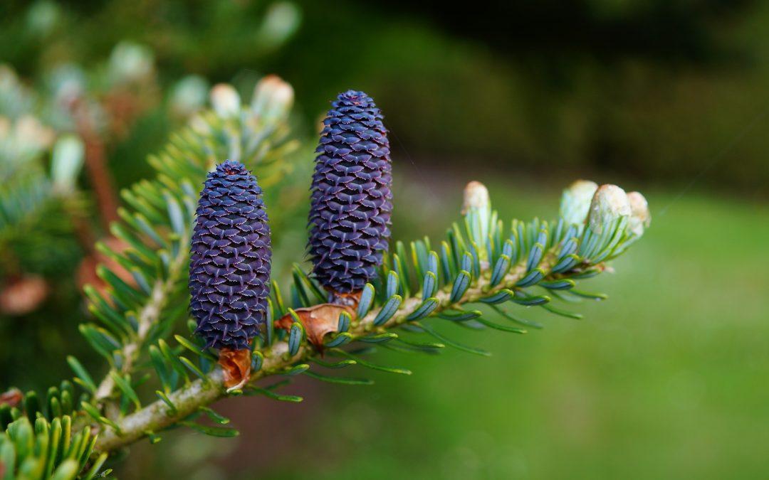 Aceite de pino coreano, ideal para adelgazar