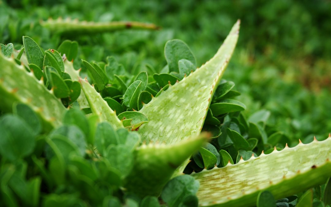 Los Beneficios del zumo de Aloe Vera